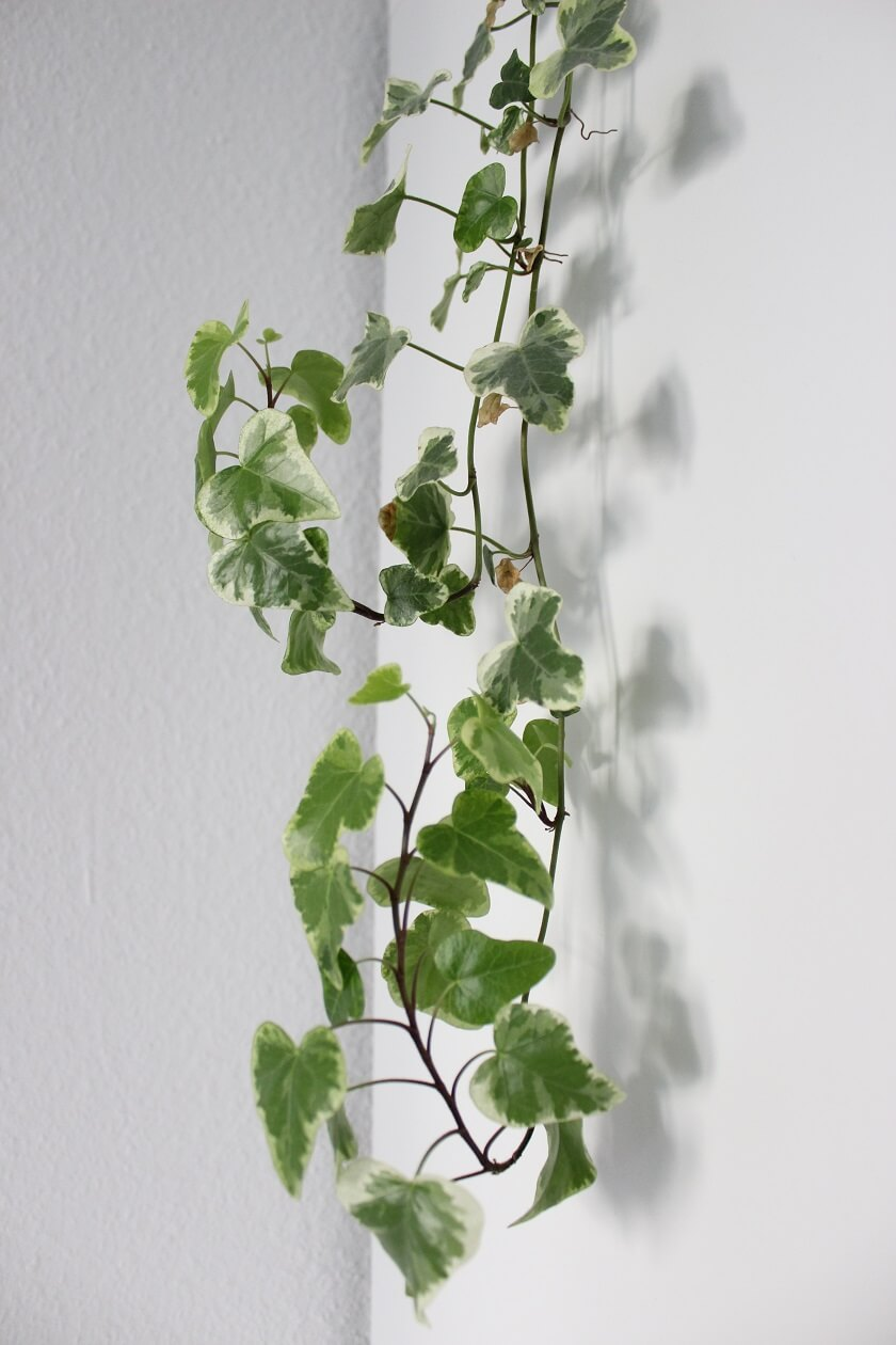 Ranken einer Zimmerpflanze, die sich am Schrank enlang wachsen.