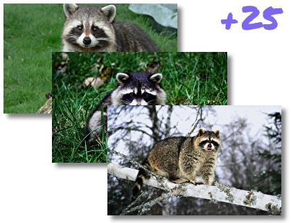 Raccoon theme pack