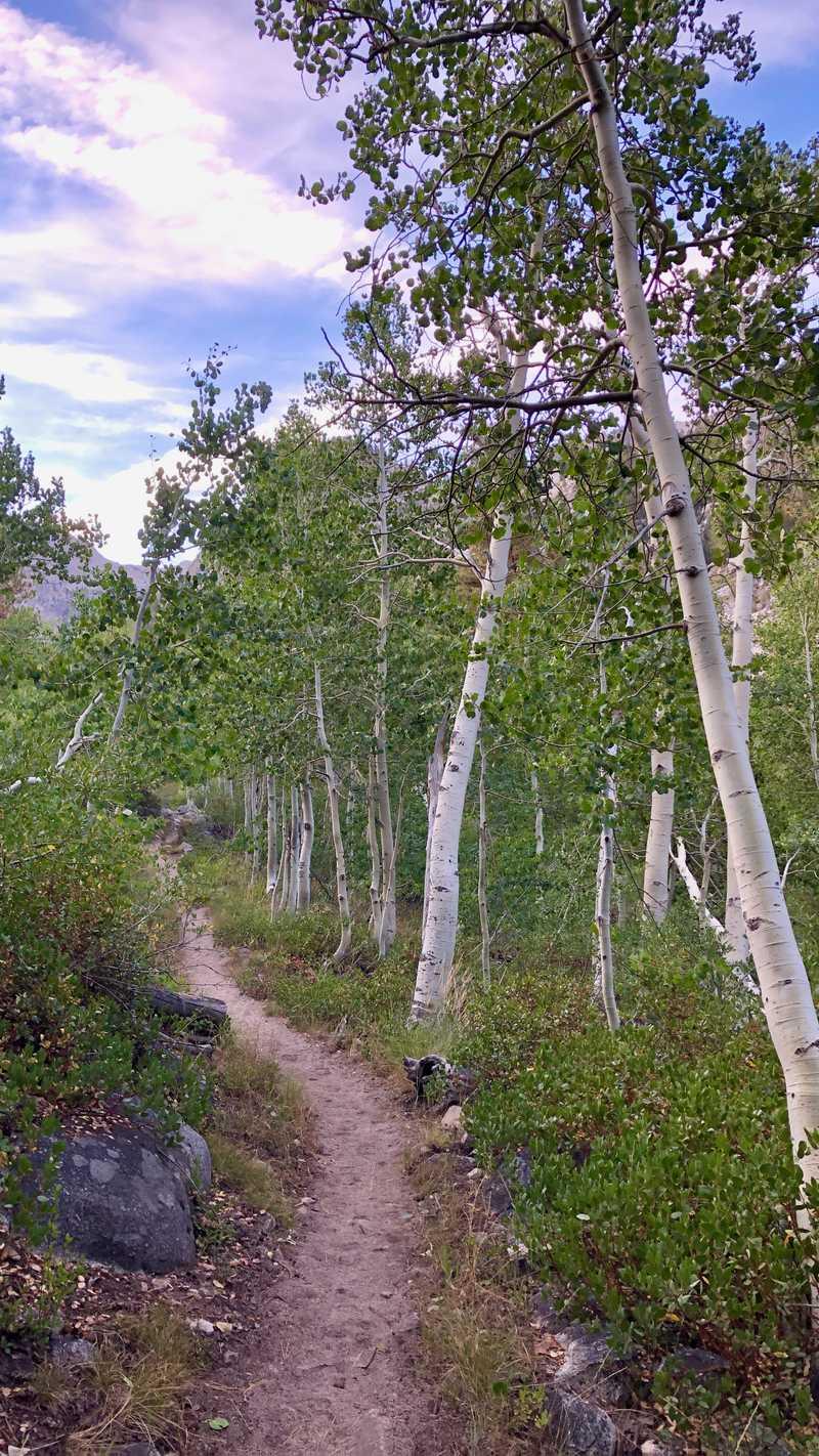 Aspen trees near Palisades Creek