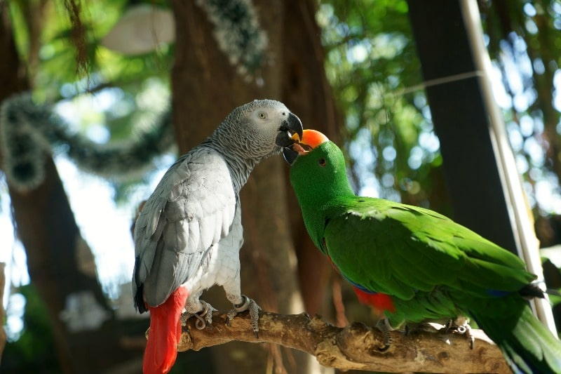 Parrots playing with each other
