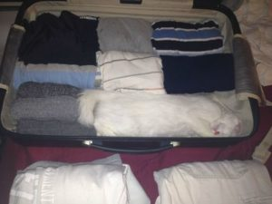 White cat packed inside a bag