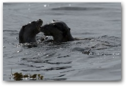 Otter cubs Playing  » Click to zoom ->