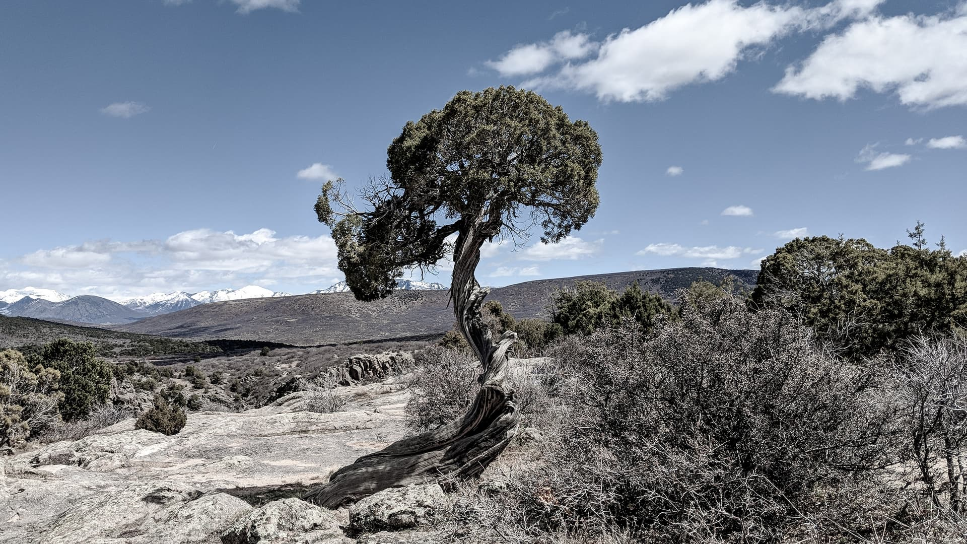 A gnarled juniper in the high mountain desert surrounding the Black Canyon of the Gunnison. The tree has grown in a distinctive spiral shape, and has a thick hemispherical crown.