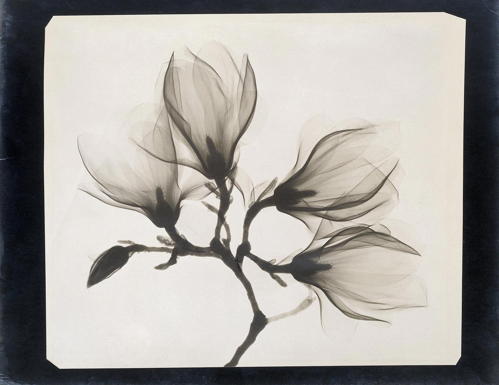 Anoniem, Tak met vier magnolia's 1910-1925. Röntgenstraling. Rijksmuseum