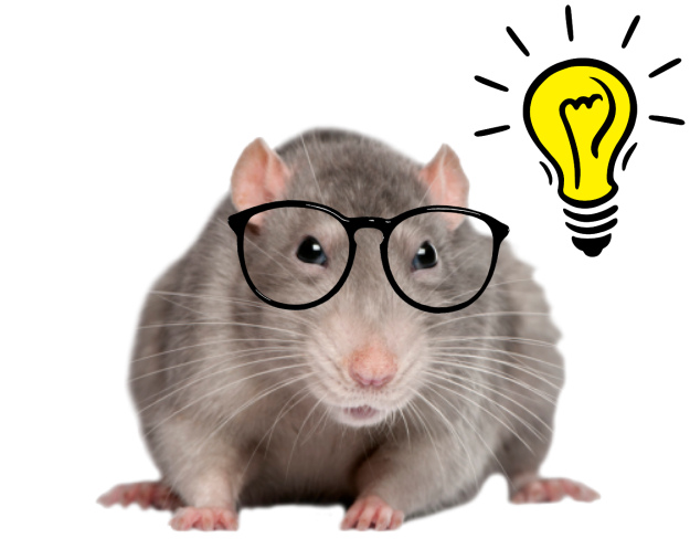 An intelligent rat.