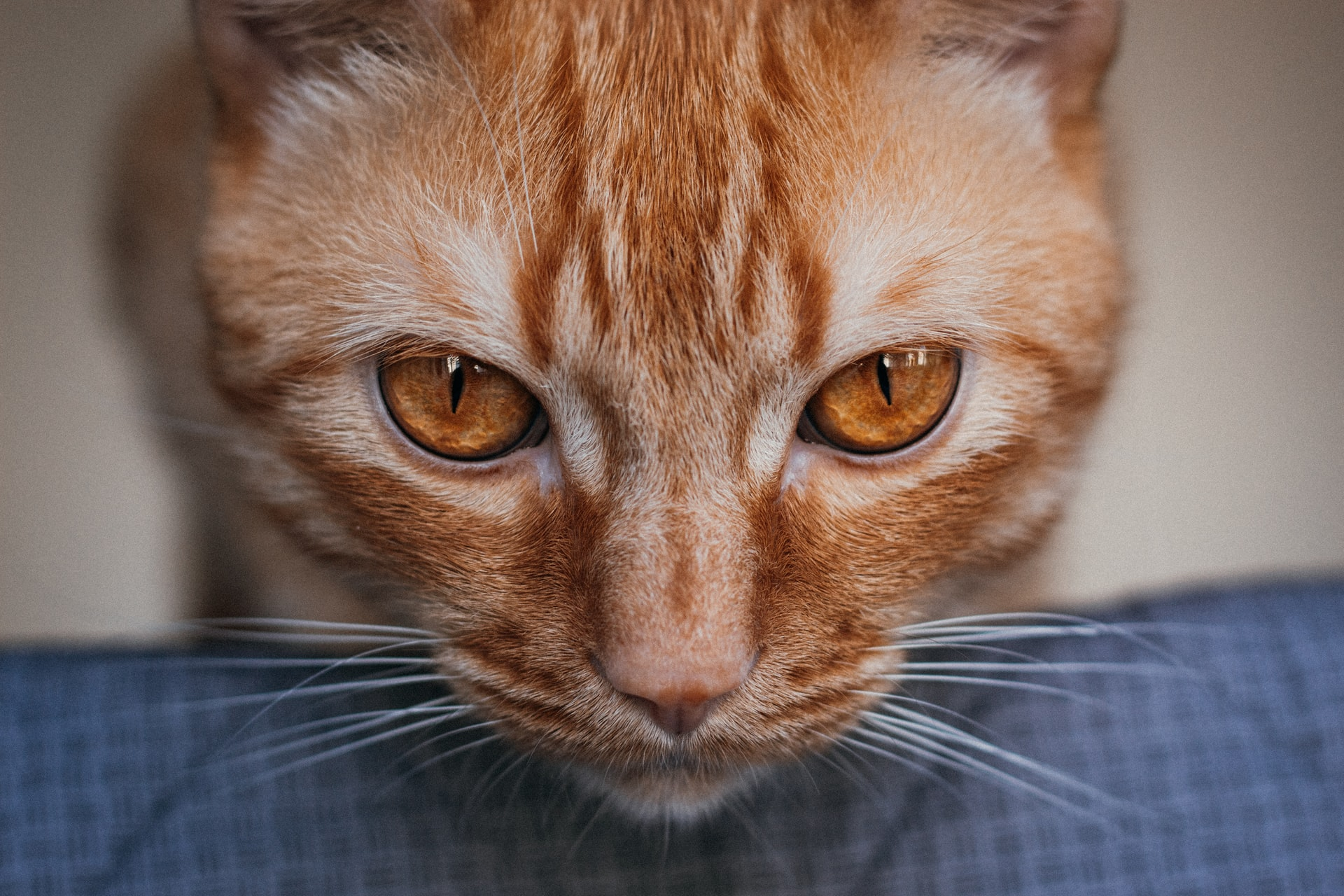 Orange cat looking at the viewer