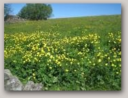 Globeflowers in Harwood in Upper Teesdale  » Click to zoom ->