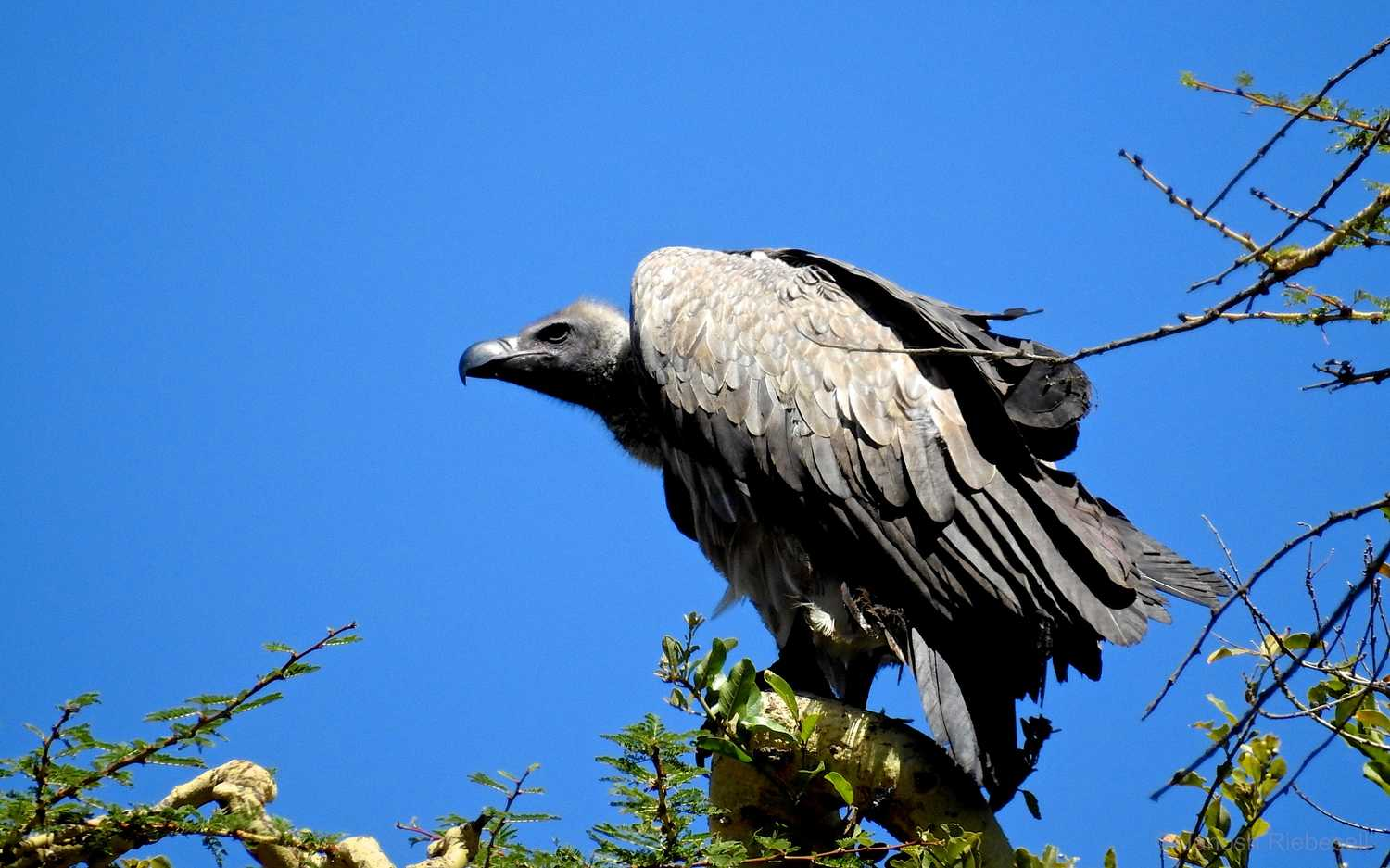 Tanzania White Backed Vulture