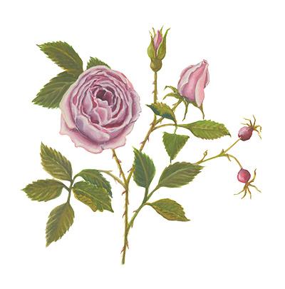 Willa Cather Exhibit watercolor rose
