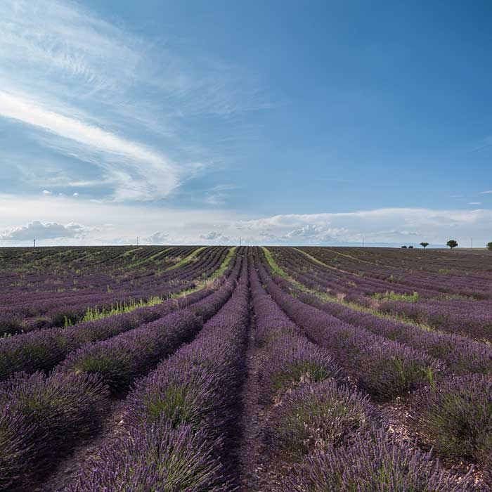 Fields on lavender, Valensole plateau, France