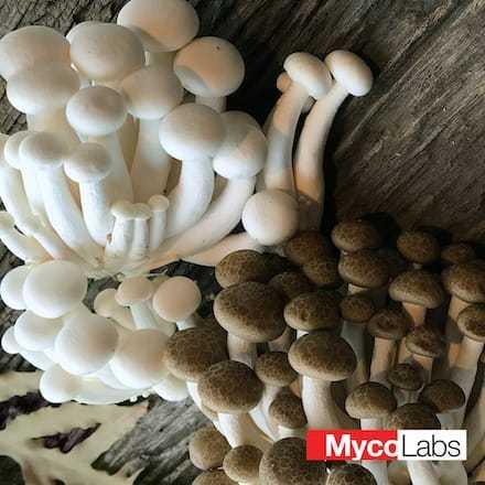 Hypsizygus marmoreus | MycoLabs