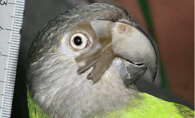 Image of Senegal parrot with skull overlaid