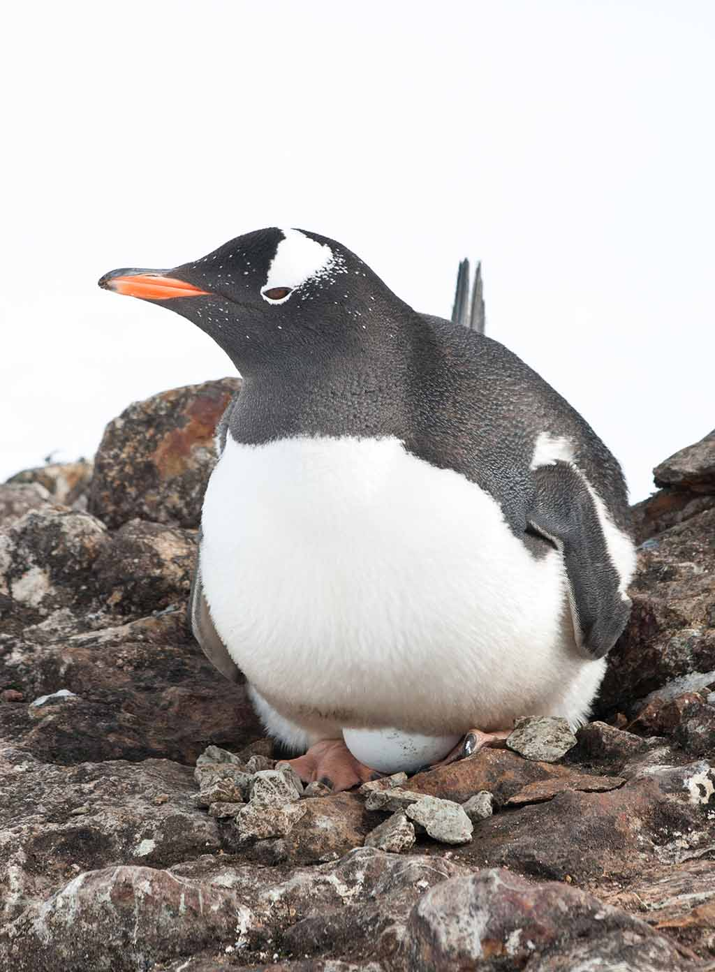 The long-tailed Gentoo penguin incubates eggs
