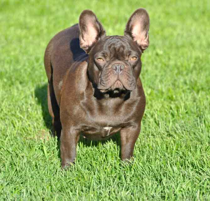 Image of a Chocolate colored French Bulldog