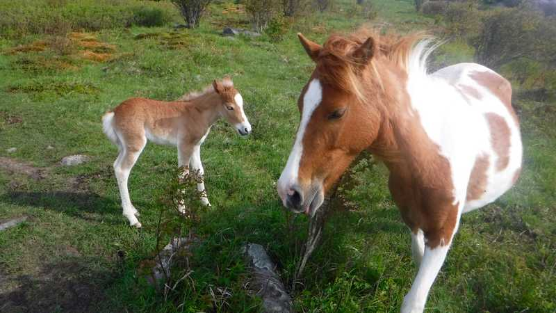 More ponies in Grayson Highlands