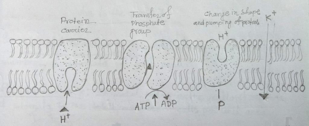 Active transport across the plasma membrane in plant
