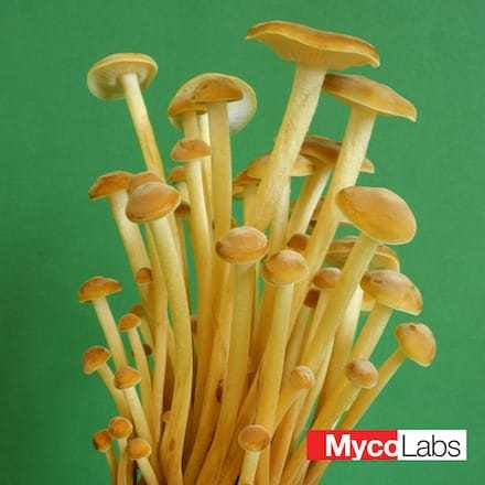 Flammulina velutipes | MycoLabs