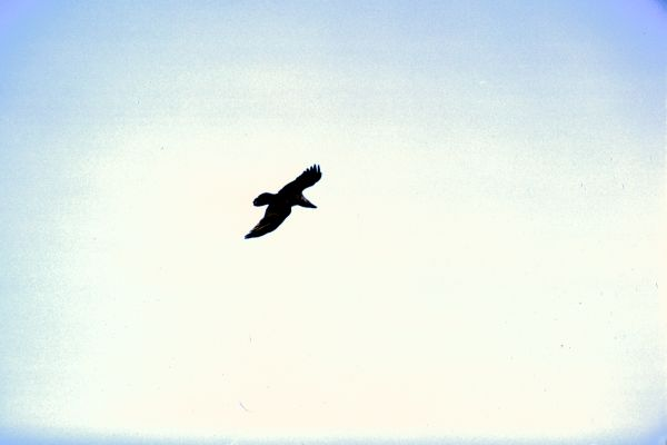 A Hooded Crow soars high
