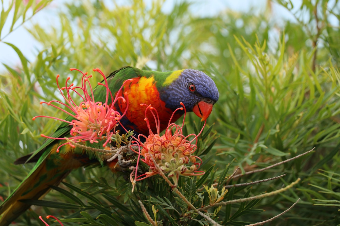 Rainbow lorikeet on a grevillea flower (credit: Nelson Tavares, Unsplash)