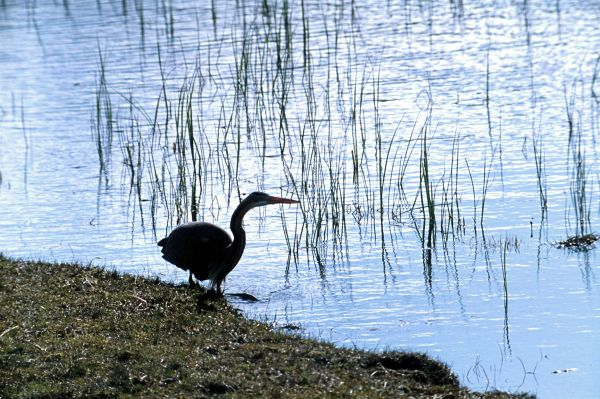 A Purple Heron tests the water