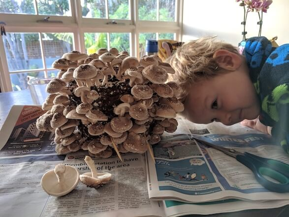 Harvesting shiitake on newspaper