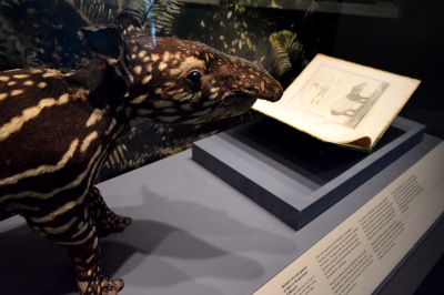 A close-up of a taxidermized tapir, along with a book illustration of a similar tapir.