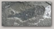 Fossil fish, South Mainland.  Copyright Jenny Murray  » Click to zoom ->