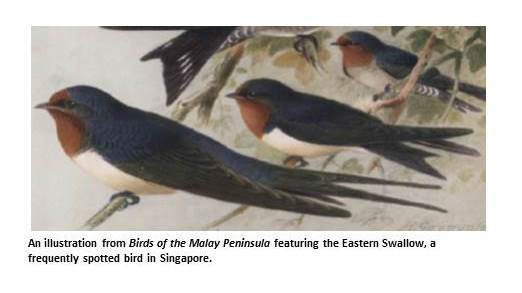 An Illustration from Birds of the Malay Peninsula featuring the Eastern Swallow, a frequently spotted bird in Singapore