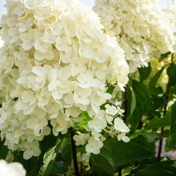 Hi, I'm a Hydrangea paniculata Living Summer Snow. I'm a compact and balanced plant. My flowers stay bright and white during the whole season. ✨✨✨ • • • #hydrangea #hydrangeapanciulata #paniculata #summersnow #livingsummersnow #white #creme #растения #цветы #гортензии #hydrangealover #paniculata #livingcreations #plant #bloemen #hortensien #hortensia #гортензия