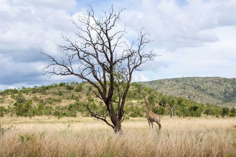 south africa giraffe tree whole 2