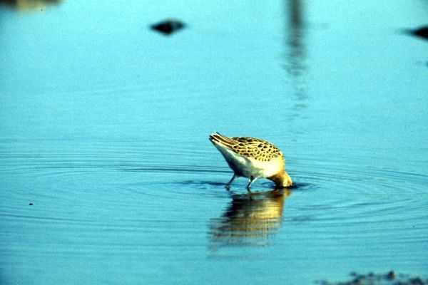 Ruff feeding in calm water