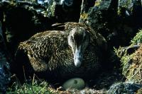 This Eider nested near Out Skerries Lighthouse