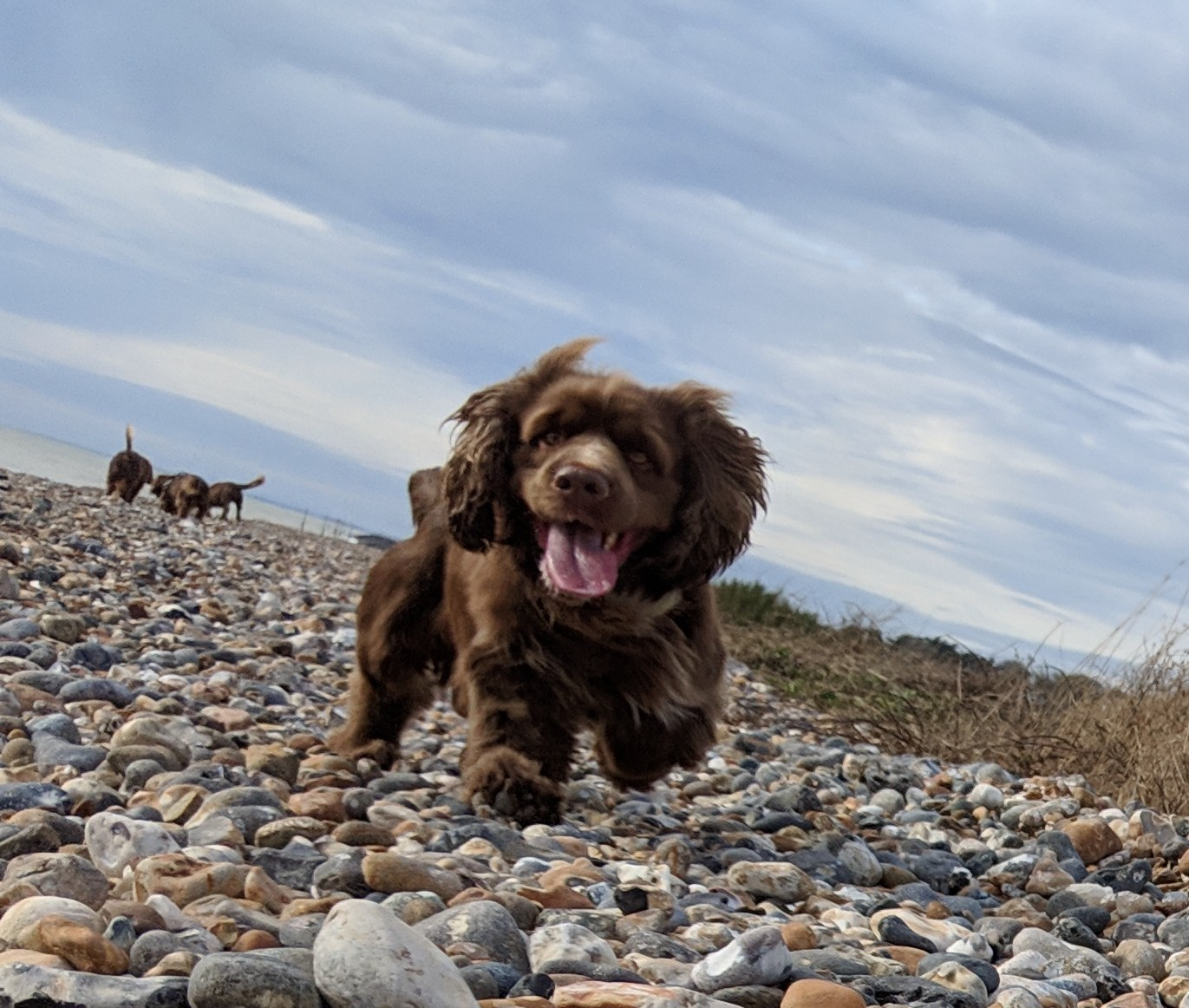 Sussex Spaniel mid jump with funny facial expression.