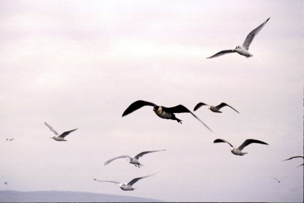 A Pomarine Skua flies with gulls