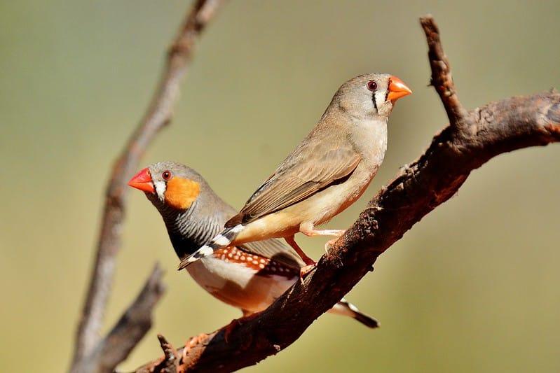 A imagem mostra dois mandarins, um macho e uma fêmea, empoleirados em um galho