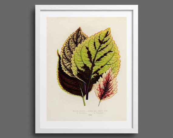 Coleus leaves (Plectranthus )