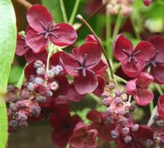 Akebia Quinata - The Chocolate vine