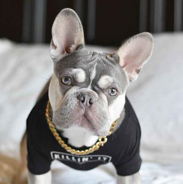 French Bulldog Colors Explained | Ethical Frenchie