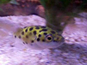 How to Keep a Freshwater Puffer As a Pet