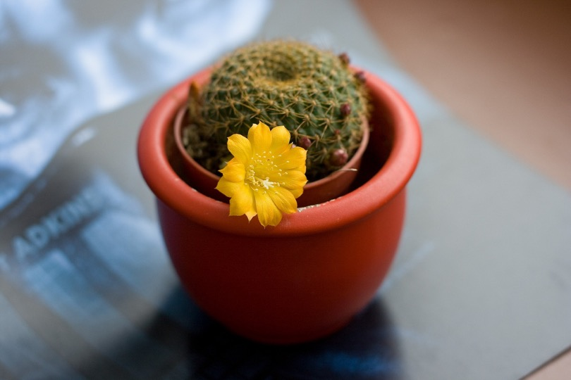 cactus-with-flower