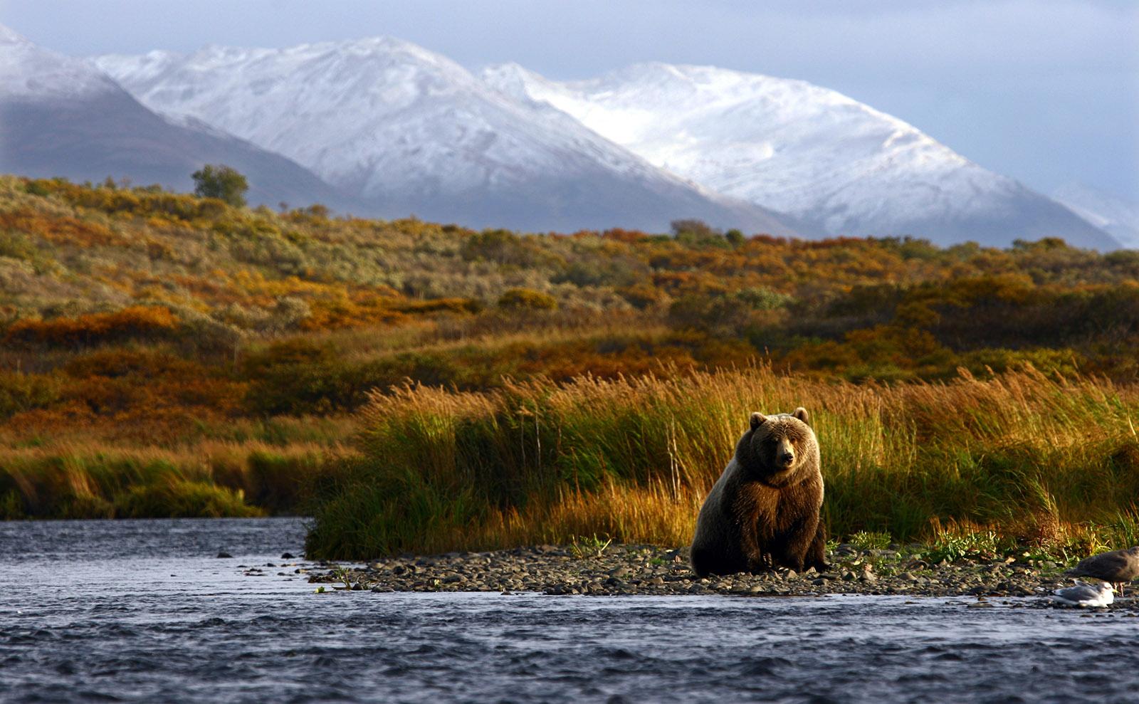 brown bear sitting in the alaska wilderness