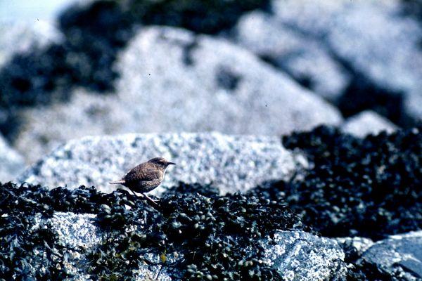 A Wren on the rocks