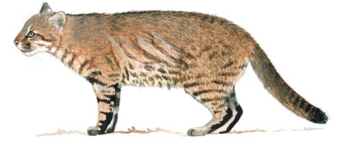Leopardus munoai