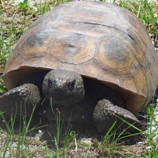 Gopher Tortoise Survey