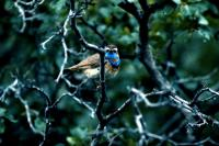 A Bluethroat perched among the trees