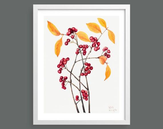 Red Chokeberry (Aronia Arbutifolia) by Mary Vaux Walcott
