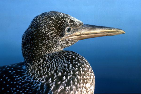 A juvenile Gannet in profile