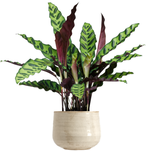 Small Rattlesnake Prayer Plant (Goeppertia insignis (Calathea lancifolia) ) - from £14