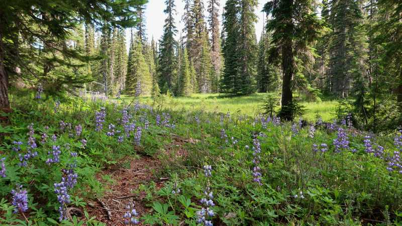 The PCT goes through a meadow