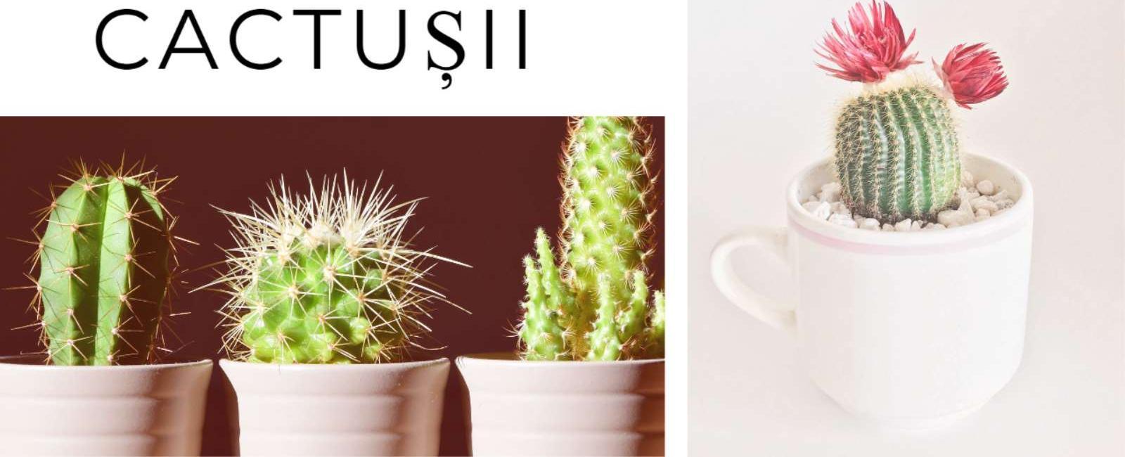 Sfaturi pentru ingrijirea Cactusilor